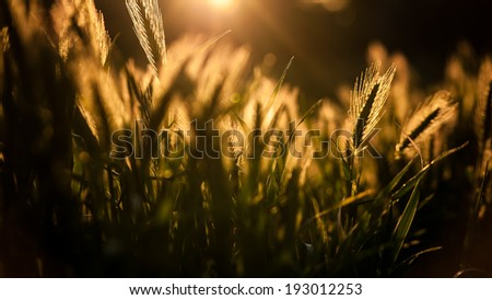 Beautiful golden ripe wild ears in warm summer sunset backlit on blurred background - stock photo