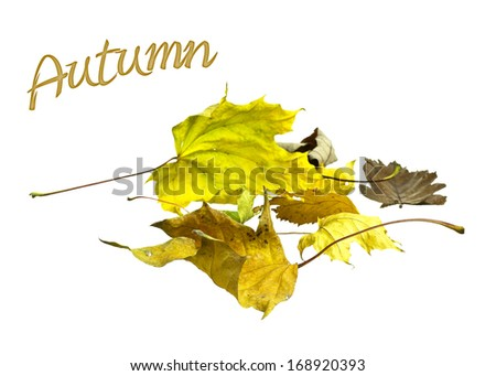Beautiful golden yellow and brown autumn leaves on white background. - stock photo