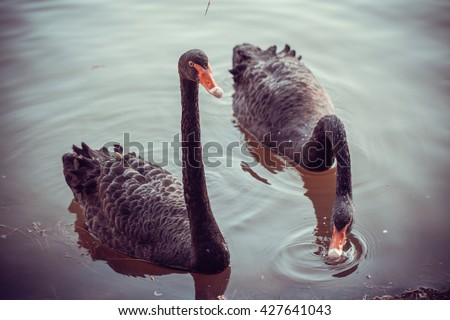Beautiful graceful adult couple black swans swim in the lake. In the animal world. Vintage - stock photo