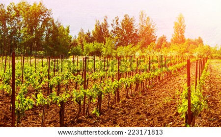 Beautiful grape valley, bright sunset, agricultural landscape, autumn nature, harvest season, ripe juicy fruits, vineyard, vine production, viticulture concept - stock photo
