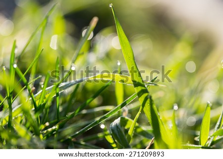 beautiful grass with dew drops - stock photo