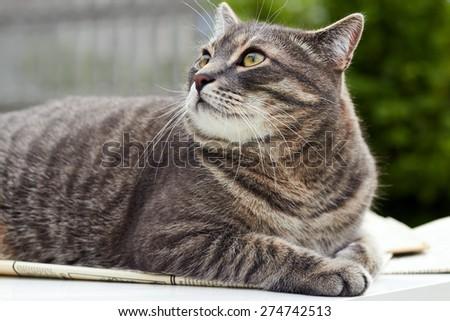 Beautiful gray cat ,  relaxing cat, cat resting, cat playing outside, elegant cat - stock photo