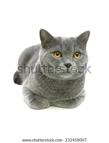 beautiful gray cat with yellow eyes isolated on a white background close-up. Vertical photo. - stock photo