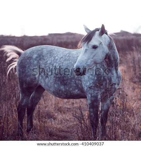 Beautiful gray horse in the field, without his harness. Evening - stock photo