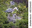 Beautiful Great Blue Heron couple with active chicks in nest - stock photo
