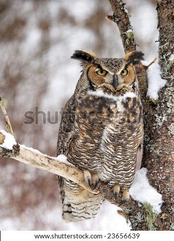 Beautiful Great Horned Owl perched in tree - stock photo