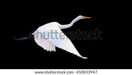 Beautiful Great white egret fly in wildlife  - stock photo