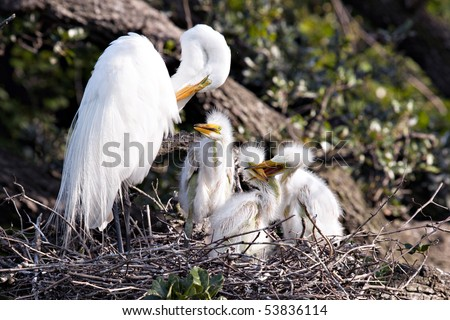 Beautiful Great White Egret in nest with active chicks - stock photo