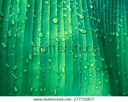 Beautiful Green Banana Leaf with Water Drops - stock photo