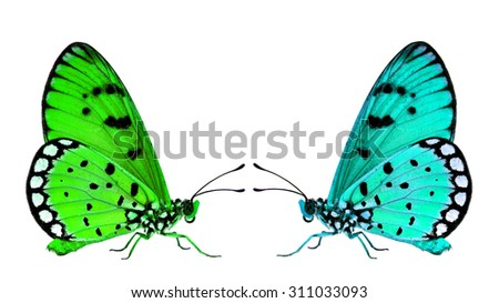 Beautiful Green butterflies facing each other on the white background - stock photo