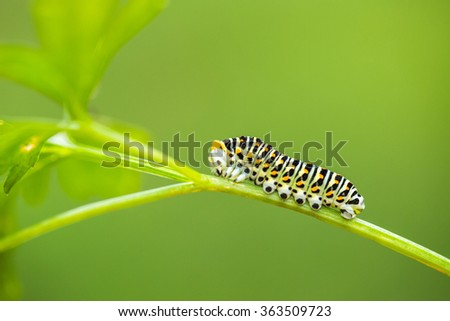 Beautiful green caterpillar creeps on a green leaf in the garden - stock photo