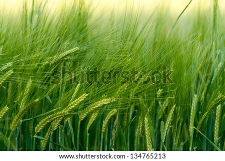 Beautiful green cereal field - stock photo