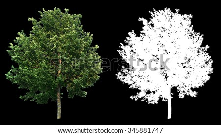 Beautiful green full size real tree isolated on alpha channel with black and white luminance matte, perfect for digital composition - stock photo