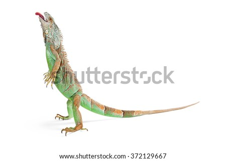 Beautiful green iguana lizard standing up on white background with head up and tongue sticking out - stock photo