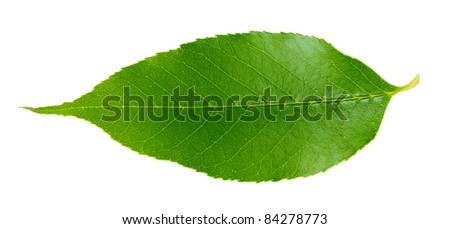 Beautiful green leaf isolated on white - stock photo
