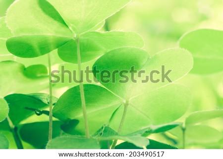 Beautiful green leaf oxalis acetosella - stock photo