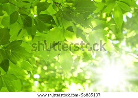 Beautiful green leaves and bright sun - stock photo