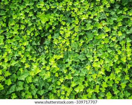 Beautiful green leaves from Hedera for background or texture - stock photo