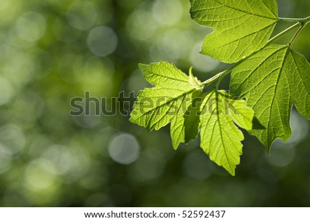 Beautiful green leaves in afternoon sun - stock photo