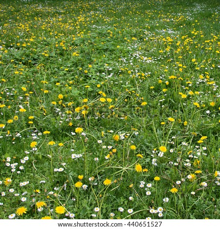Beautiful green meadow with nice chamomile and dandelions. Wonderful rural landscape. Amazing lawn with wildflowers. Nice photo of summer countryside environment. Grassland in a village - stock photo