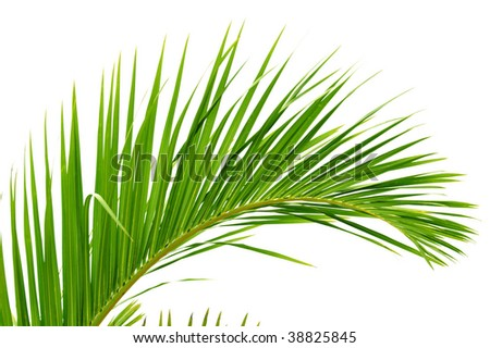 Beautiful green palm tree leaf - stock photo