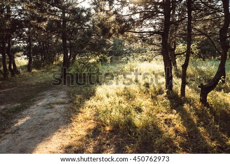 Beautiful green pine forest with sunny beams. Last of the sun shining through the trees. Amazing morning scene on the nature with rays and long shadows. Sunlight in the park, sunlit spruce. - stock photo