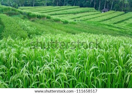 Beautiful green rice paddy field. Growing rice on rice terraces. - stock photo