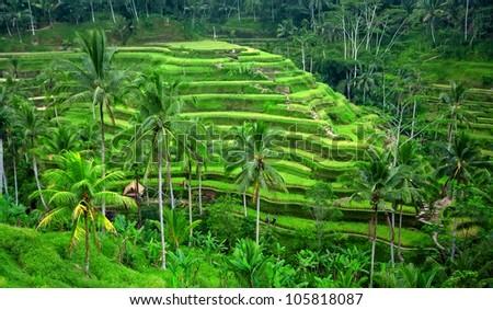 Beautiful green rice paddy field. Rice terrace. - stock photo