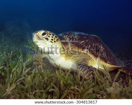 Beautiful green sea turtle (marine reptile) - stock photo