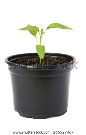 beautiful green seedlings in black pot on a white background - stock photo
