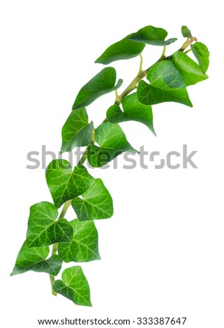 beautiful green twig of straight ivy Hedera is isolated on white background, closeup - stock photo