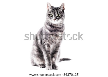 beautiful grey brown white black striped cat sitting - stock photo