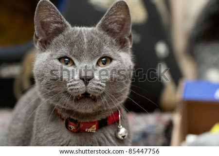 Beautiful grey cat - stock photo