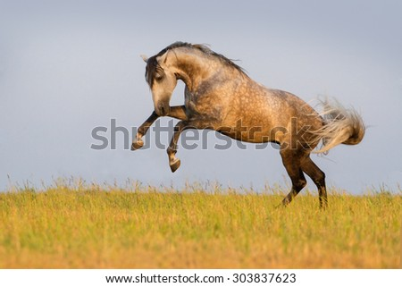 Beautiful grey horse running on the meadow - stock photo