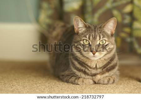 Beautiful grey tabby cat  - stock photo