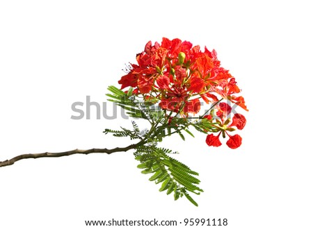 Beautiful Gulmohar flowers isolated on white - stock photo