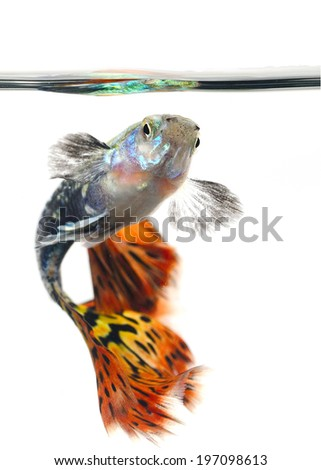 Beautiful Guppy isolated on white Background - stock photo