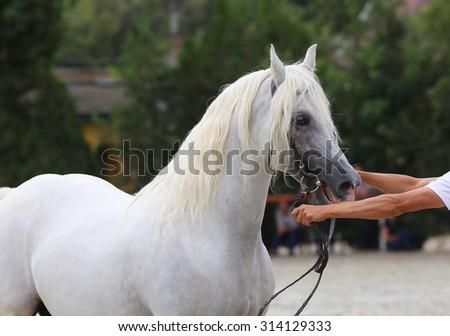 Beautiful half-bred stallion posing on a horse event - stock photo