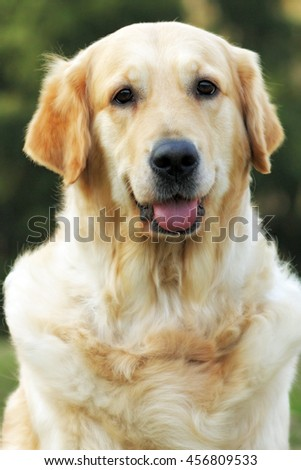 Beautiful happy dog Golden Retriever in the summer outdoors, looking at camera, closeup portrait - stock photo