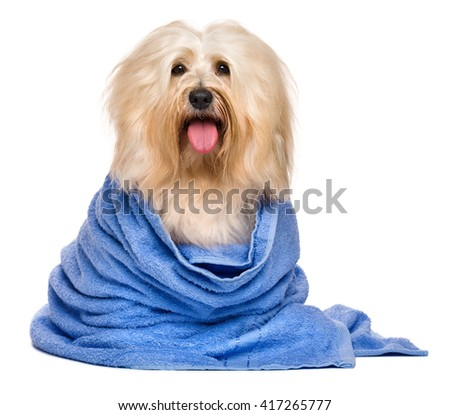 Beautiful happy reddish havanese dog after bath is sitting wrapped in a blue towel and looking at camera, isolated on white background - stock photo