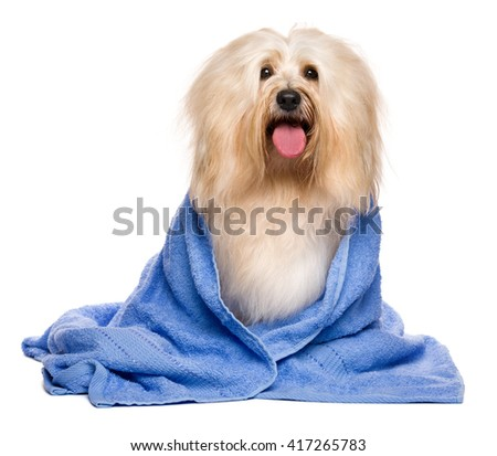 Beautiful happy reddish havanese dog after bath is sitting wrapped in a blue towel, isolated on white background - stock photo