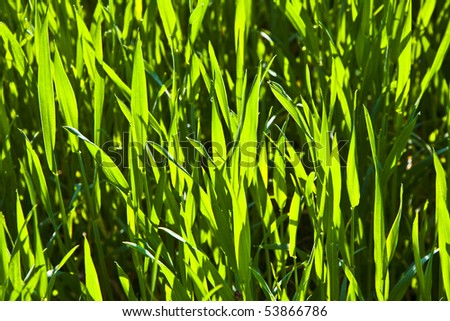 beautiful harmonic structure of green corn plants with dew - stock photo