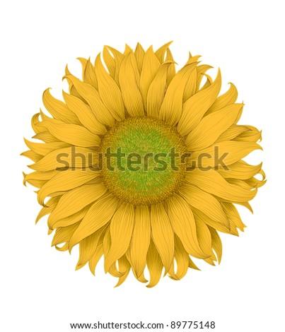 beautiful head of sun flower isolated white background - stock photo