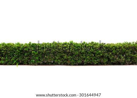 beautiful hedge fence isolated on white background - stock photo