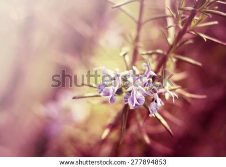 Beautiful herbals - purple rosemary flowers - stock photo