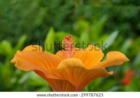 beautiful Hibiscus rosa-sinensis ,shoe flower orange at park ,garden ,forest - stock photo