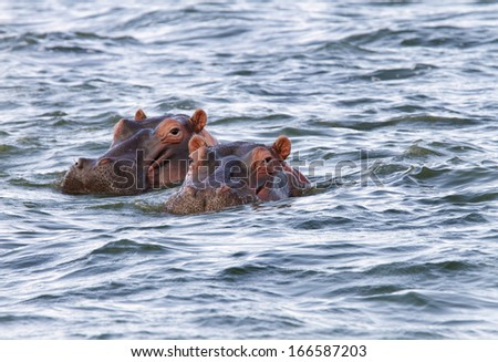 Beautiful Hippos at Naivasha lake - stock photo