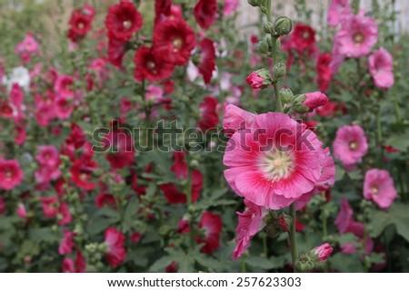 beautiful hollyhocks flower in the garden - stock photo