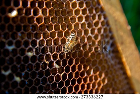 Beautiful honeycomb and bee works. Loneliness worker - stock photo