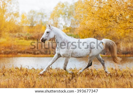 Beautiful horse Arabian breed white suit standing on the background of autumn forest and yellow foliage. The stallion runs trot in field - stock photo